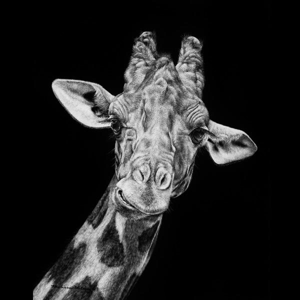 Giraffe Scratchboard