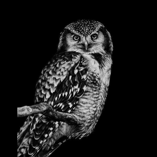 Northern Hawk Owl Scratchboard